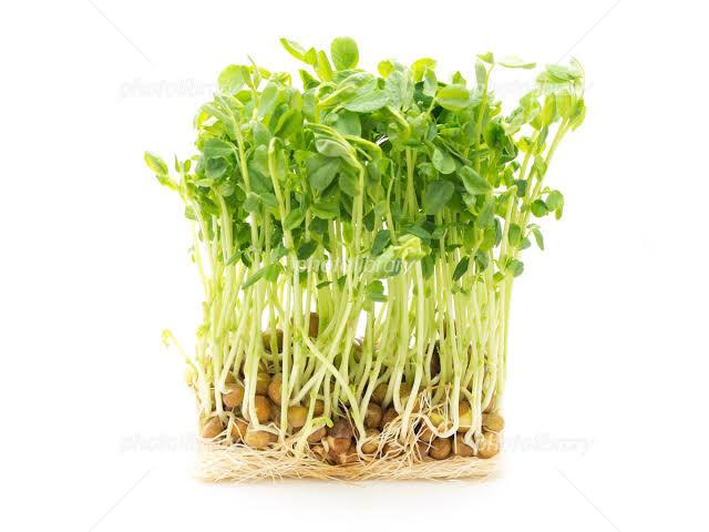 【再生栽培】3回は収穫!再生栽培のコツ(豆苗篇)